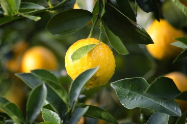 lemons with leaf